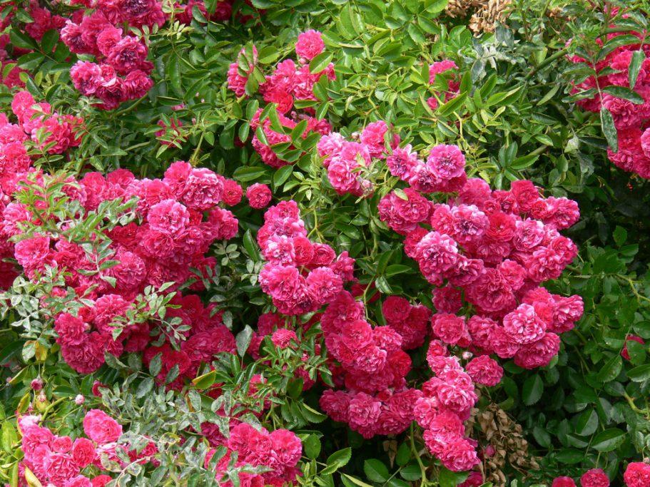 Praca dotycząca wzrostu ikwitnienia róż pnących rambler